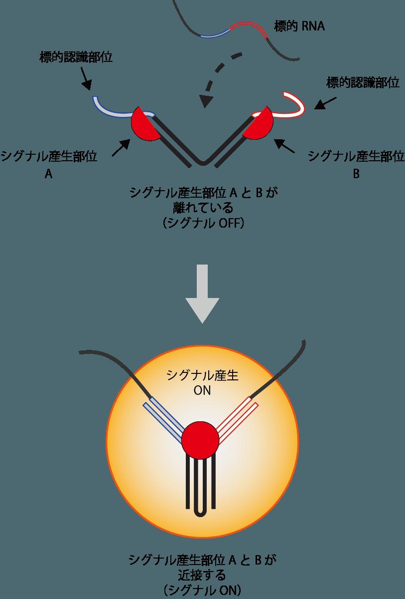 生細胞内情報を見る技術開発