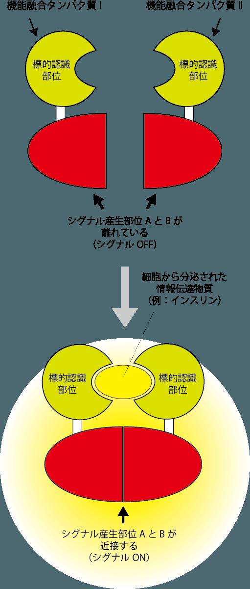 細胞間情報を見る技術開発